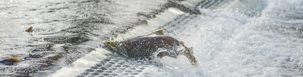 Salmon Run 2014
